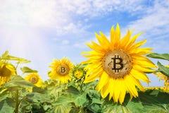 Bitcoin en las flores del girasol en los rayos del sol brillante foto de archivo libre de regalías