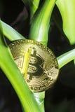 Bitcoin-Frucht Lizenzfreie Stockfotos