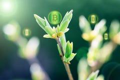 Bitcoins sur l'usine de pousse comme symbole de croissance vers le haut de bitcoin et de Cr photographie stock libre de droits