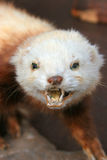 Bite Me. Stuffed Weasel in NZ stock photography