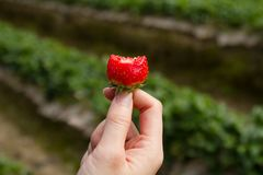 Bite strawberry on beautiful woman hand with row of strawberry plant on background. Close up Bite strawberry on beautiful woman hand with row of strawberry plant stock image