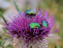 Bitelsi na dzikiego kwiatu osecie Zdjęcia Royalty Free