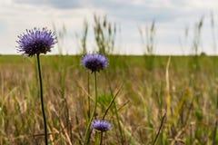 Biten för får` s blommar i fältet royaltyfria foton