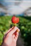 Biten jordgubbe, jordgubbelantgård royaltyfri foto