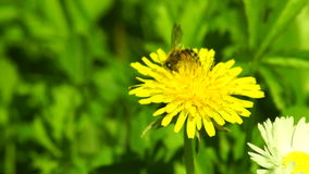 Bites and Bee on the Same Dandelion stock video footage