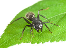 Biting ant en face Royalty Free Stock Photography
