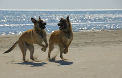 Biting belgian shepherd. Two young purebred belgian shepherd biting on the beach royalty free stock photo