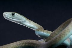 Biting black mamba / Dendroaspis polylepis Stock Photography