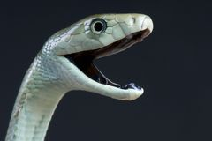 Biting black mamba / Dendroaspis polylepis Stock Photo