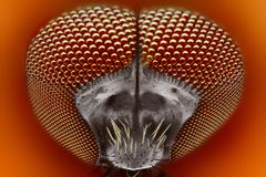 Biting blackfly (Simuliidae) extreme sharp   Royalty Free Stock Photography