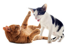 Biting cats Stock Images