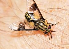Biting Deer Fly Royalty Free Stock Photo