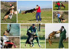 Biting dog,. The figurant training police dogs. Attack to a sleeve Stock Photos