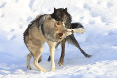 Biting down on timber wolf Stock Photos