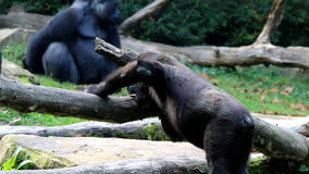 Biting gorilla stock video