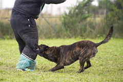 Biting Holland Shepherd. Training of an holland shepherd who biting a man Stock Photography