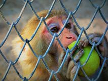 Biting off more than it can chew. Rhesus Macaque taking a bite from an apple Royalty Free Stock Photography
