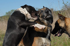 Biting pit bull. Biting three dogs: one pit bull terrier et two belgian shepherds malinois Royalty Free Stock Images