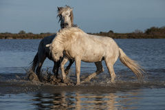 Biting stallion. Two stallions fighting in the marshes of the camargue in the south of france royalty free stock photography