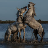 Biting stallion. Two stallions fighting in the marshes of the camargue in southern france royalty free stock photos