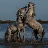 Biting stallion Royalty Free Stock Photos