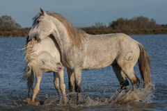 Biting stallion. Two stallions fighting in the marshes of the camargue in southern france royalty free stock image