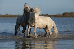 Biting stallion. Two stallions fighting in the marshes of the camargue in southern france stock photos