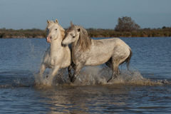 Biting stallions. Two stallions fighting in the marshes of the camargue in southern france royalty free stock photography