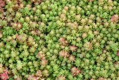 Biting stonecrop. Moss closeup shot, horizontal natural background stock image