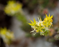 Biting stonecrop (Sedum acre) in flower Stock Image