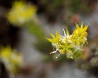Biting stonecrop (Sedum acre) in flower Stock Image