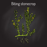 Biting stonecrop Sedum acre , or goldmoss, ornamental and medicinal plant. Hand drawn botanical vector illustration Stock Image