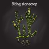 Biting stonecrop Sedum acre , or goldmoss, ornamental and medicinal plant Stock Image