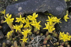 Biting Stonecrop. Sedum acre, Growing on Lead minning waste, Charterhouse royalty free stock images