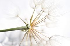 Bits  of the dandelion Stock Photography