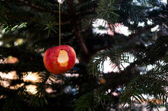 Bitten apple hanging in the Christmas tree replacing a globe Stock Image