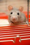 Bitten der Ratte Stockfoto
