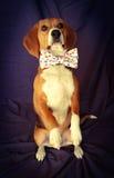 Bitten des Spürhunds Bowtie Lizenzfreie Stockfotos