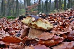 Bitten by slugs mushroom Royalty Free Stock Images