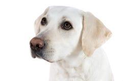 Bitten von weißem Labrador Stockfotos