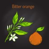 Bitter apelsin Royaltyfri Illustrationer