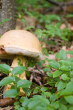 Bitter Bolete Stock Photography