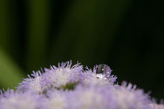 Bitter bush grass pollen Stock Images