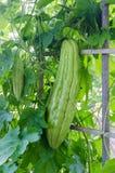 Bitter gourd-bitter melon-bitter cucumber-balsam pear Stock Images