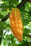 Bitter gourd hanging Royalty Free Stock Image