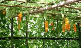 Bitter gourd hanging Royalty Free Stock Photos