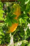 Bitter gourd Stock Image
