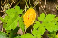 Bitter gourd. Stock Photo