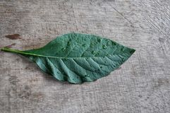 Bitter leaf royalty free stock photography