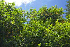 Bitter lemon tree. An abundance of lemons among the lush foliage. Sky is deep blue and sunlight streaming through the leaves Stock Images